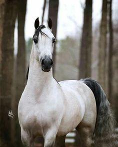 2002 grey Arabian stallion (Afire Bey V x Kaz Baskteena) Beautiful Arabian Horses, Most Beautiful Horses, Majestic Horse, Majestic Animals, All The Pretty Horses, Animals Beautiful, Cute Horses, Horse Love, Grey Horses