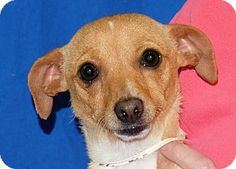 Pictures Of Rosie A Dachshund Mix For Adoption In Spokane Wa Who