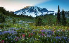 Mount Rainier, поле, цветы, горы, деревья, пейзаж