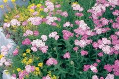'Oertel's Rose' Yarrow - A drought tolerant perennial for sunny places where it has a little room to spread out. Goes great in rock gardens and cottage gardens both.