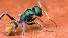formigas da australia - Pesquisa Google