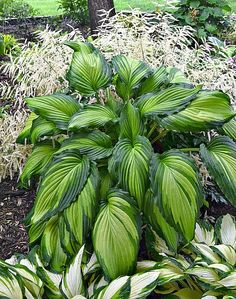 Angel Falls Hosta // Think Spring for hosta planting time! Over 700 varieties of beautiful hostas, #1 shade perennial. NH Hostas is a Top 30 Gardening Source at Daves Garden Watchdog.