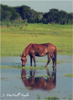 Assateague Island Pony - Maryland