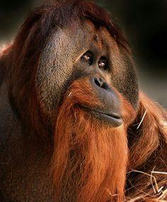 The new International Orangutan Center at the Indianapolis Zoo. Image courtesy of the Indianapolis Zoo. Primates, Mammals, Nature Animals, Animals And Pets, Funny Animals, Cute Animals, Strange Animals, Male Orangutan, Indianapolis Zoo