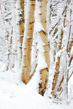 69 Ideas Birch Tree Photography Winter Aspen For 2019 Winter Landscape, Landscape Art, Landscape Paintings, Forest Landscape, Landscapes, Birch Tree Art, White Birch Trees, Winter Scenery, Winter Trees