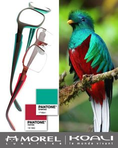 Birds of a feather #PANTONE together!  MOREL's new #Quetzal frames feature two of this year's hottest Pantone colors - #Samba & #Emerald! #koali #moreleyewear