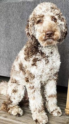 A Complete Guide to Merle Labradoodle - Labradoodles & Dogs Cute Puppies, Cute Dogs, Dogs And Puppies, Doggies, Blue Merle, Animals And Pets, Cute Animals, Puppy Breeds, Doodle Dog Breeds