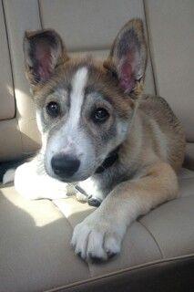 Jango - Husky/lab cross  Too cute!!!