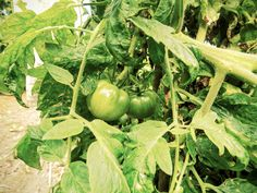 Tomateiro #jardimdecasa