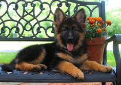 http://mittelwest.com. Mittelwest best german shepherd dog breeder.#Mittelwest #GermanShepherd #JulieMartinezMittelwest