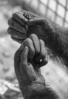 This is amazing of how we look like them:) Beautiful hands of Tatu the chimpanzee.