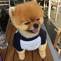 Jiff the Pomeranian sports a classic look in the Poly-Cotton 3/4 Dog Raglan!