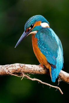 Exotic Pets 829647562586773615 - – Isabelle Hossenlopp Source by Cute Birds, Pretty Birds, Small Birds, Little Birds, Tropical Birds, Exotic Birds, Colorful Birds, Exotic Pets, Common Kingfisher