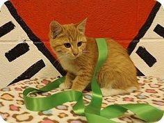 RIP SWEET ONE... = (  **ULTRA URGENT** BEAUTIFUL RARE RED/ORANGE TABBY FEMALE (ID# 2310, Siblings are #2309-#2313) ***MUST BE OUT OF SHELTER BY 6 PM TODAY, TUESDAY, DECEMBER 3, 2013*** AT FLOYD COUNTY ANIMAL CONTROL, 431 MATHIS ROAD, RwwOME, GA (706) 236-4545 & (706) 236-4537.  jbroome@floydcountyga.org