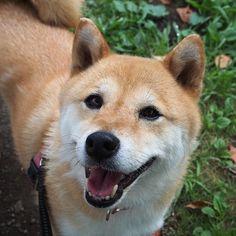 Pinを追加しました!/今日は湿度が高くて蒸し蒸しと暑かったね。そろそろ梅雨明けなのかな。それでは、おやすみなさい #shiba #dog #komugi #柴犬