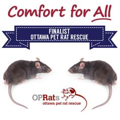 Comfort for All Finalist Ottawa Pet Rat Rescue