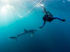 98bba7dda1 Join us for amazing Blue shark and Mako shark diving out-of-the-cage.  Experience these sleek