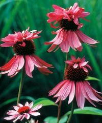 """Common nameConeflowerBotanical nameEchinacea purpureaVarietyDoppelganger®ZoneUSDA Zone 3 (-40°F) to USDA Zone 9 (20°F).ColorPurpleLightpart sunHeight24-30"""" (61-76 cm)HabituprightWaterweekly during dry spellsFeeduse all-purposeMaintenanceremove spent blooms"""