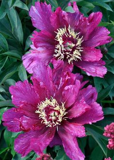 (Also known as Itoh peonies) Above: Paeonia 'Bartzella', Paeonia 'Cora Louise', Paeonia . Claire Austin, Love Flowers, Design Inspiration, Plants, Gardening, Flowers, Lawn And Garden, Plant, Planets