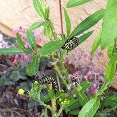 Caterpillars!:))