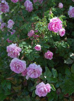 Rosa 'Poppius' (Sweden?)