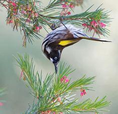 New Holland Honeyeater, National Botanical Gardens, Australian Birds, Bird Art, Beautiful Birds, Stamps, Club, Inspired, Tattoos