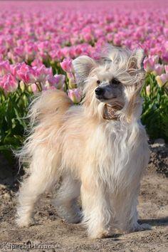 "Bachata Romantica Di China Latina ""Elphaba"" - our Chinese Crested (powderpuff) - Special Princess"