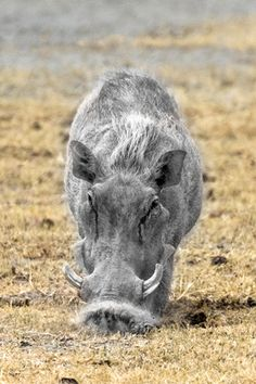 warthog Tanzania wildlife, Serengeti National Park