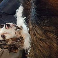 Toronto, Ontario - Cocker Spaniel. Meet Ozzy, a for adoption. https://www.adoptapet.com/pet/21562711-toronto-ontario-cocker-spaniel