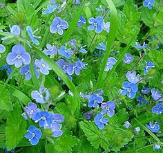 Veronica (plant) - Wikipedia, the free encyclopedia. Also called speedwell, birds eye, gypsyweed. American Veronica is edible. Country Cottage Garden, Cottage Garden Plants, Herb Garden, Forest Flowers, Wild Flowers, Purple Flowers, Verona, Veronica Plant, Greek Flowers