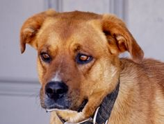 ***SUPER SUPER URGENT!!!*** - PLEASE SAVE RED!! - EU DATE: 7/31/2015 -- Red Breed:Retriever (mix breed) Age: Adult Gender: Male Size: Large Special needs: hasShots, Special needs: specialNeeds, Shelter Information: Toccoa-Stephens County Humane Shelter 1747 Scenic Dr.  Toccoa, GA Shelter dog ID: red Contacts: Phone: 706 282-3275 Name: Elain Brown email: Elain@TSCHS.org About Red: Red is a really nice, fun loving dog who deserves to find a nice home. Unfortunately, he has tested positive for…