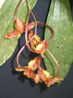 Gongora galeata (Orchidaceae)