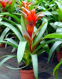 Guzmania - Guzmania lingulata - piante appartamento