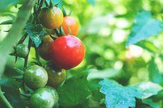 Tomaten sind eines der hungrigsten Gemüse im ganzen Gemüsegarten. Deswegen geht es heute um die Frage: Wie zum Teufel stille ich diesen Hunger und dünge Tomaten so, dass sie mit allem versorgt sind was sie brauchen? Ich werde euch erzählen: welche Nährstoffe Tomaten brauchen und warum, wie du erkennst, ob du deine Tomaten düngen solltest welche Dünger du wann verwenden kannst und woran du erkennst, dass du es ein bisschen zu gut gemeint und deine Tomaten überdüngt hast. Auf diese 5…