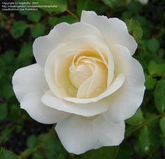 -- ©kniphofia - davesgarden.com Rose, Flowers, Plants, Art, Art Background, Pink, Roses, Flora, Kunst