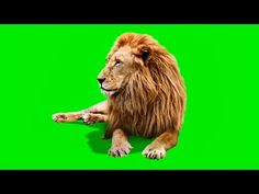Male Lion | Best Green Screen ( Download Link ) - YouTube Green Screen Images, Best Green Screen, Green Screen Video Backgrounds, Free Green Screen, Green Screen Photo, Green Backgrounds, Photo Background Images Hd, Green Background Video, Studio Background Images