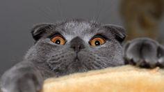 My favorite cat: Scottish Fold