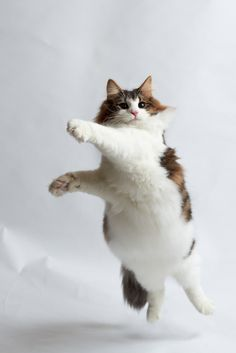 Fat cat dancing