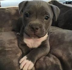 This adorable pitbull puppy will make you happy. Dogs are awesome friends. Cute Little Animals, Cute Funny Animals, Funny Dogs, Baby Animals Pictures, Cute Animal Pictures, Cute Dogs And Puppies, I Love Dogs, Doggies, Pit Bull Puppies