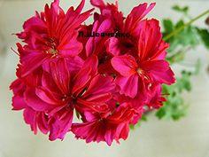Сортовые пеларгонии. - Все о комнатных растениях на flowersweb.info