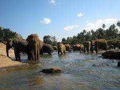Pinnawala Elephant Orphanage, Sri Lanka (www.secretlanka.com) #SriLanka #Pinnawala #Elephants