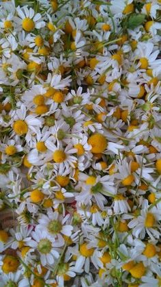 Heřmánková mast Mocný pomocník z rostlinné říše. Voňavá a vše-léčící bylinka na veškeré záněty uvnitř i vně těla. Protizánětlivá látka, která dokáže na naší kůži zázraky se jmenuje chamazulen. Této úžasné síly můžeme využít a připravit si domácí, heřmánkovou mast. Jak na to? Zavadlými květy heřmánku (nechávám 3-5h)