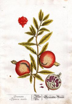 1757 Pomegranate Elizabeth Blackwell Fruit Print Botanical Pl 145 Herbal Food Print Kitchen Home Decor