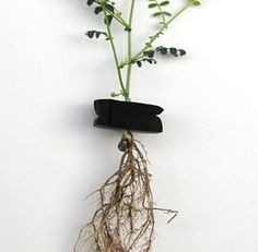5 Steps to Save a Plant with Root Rot https://www.facebook.com/pages/Hydro-Ponics-of-Lehigh-Valley/597971890219150?ref=bookmarks