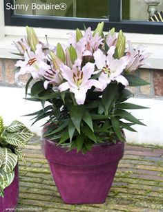 "Lily 'Sunny Bonaire' Dwarf Oriental Lily 'Sunny Bonaire' has large, fragrant, upward facing, light pink flowers on compact but strong, 18"" stems. It is part of the ""Sunny"" series of lilies with large flowers, attractive, dark green foliage and a high bud count."