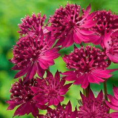 Sterndolde Venice® günstig online bestellen bei den beliebtesten Pflanzen Shops im Internet. Vergleich der besten Pflanzen, Blumen und Planzenversand Shops.