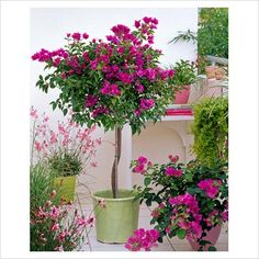 GAP Photos - Garden & Plant Picture Library - Bougainvillea, Gaura 'Karalee Petite' and Lysimachia nummularia in pots on balcony - GAP Photos - Specialising in horticultural photography