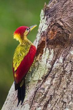 Kızıl kanatlı ağaçkakan