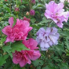My mom had a beautiful Rose-of-Sharon just like this that was started by a friend of hers.
