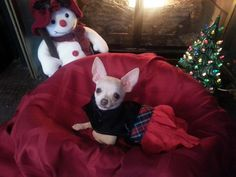 Pixie ready for Christmas